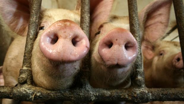 Videoclipul din acest articolului îţi va arăta adevărata faţă a fabricilor de animale. Te va emoţiona şi te va indigna în acelaşi timp, atât de tare, încât nu vei mai putea rămâne indiferent la strigătul mut al acestor fiinţe nevinovate.
