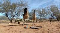 Videoclipul prezintă cât de fricoase sunt aceste păsări. Deşi jucăria este minusculă în comparaţie cu ele, aceasta reuşeşte să le sperie îngrozitor. Urmăriţi dacă vreţi să râdeţi în hohote!