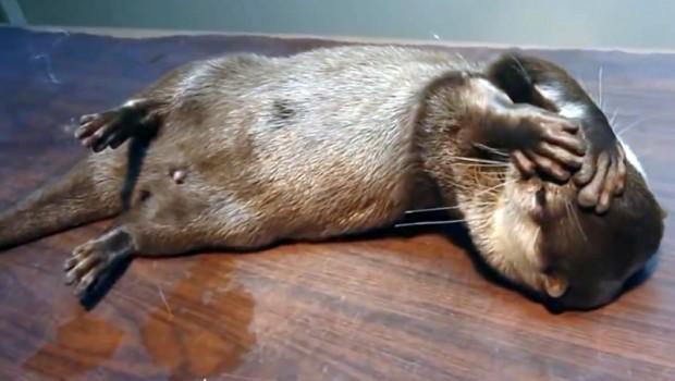 Sunt sigură, că doreşti să îţi începi dimineaţa cu zâmbetul pe buze! Special am ales două videoclip-uri cu cele mai drăgălaşe vidre, care îţi vor însenina cu siguranţă ziua. Cum să nu iubeşti aceste fiinţe?  Atenţie! Alertă de animale prea simpatice.