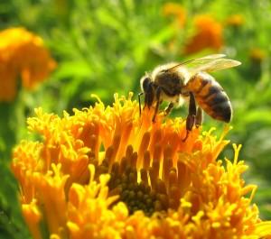 propolis-bee