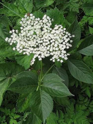 ceai de flori de soc contra febrei