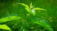 Cu acțiuni puternic revigorante și tonice, urzica este una dintre cele mai benefice plante medicinale. Vezi ce trebuie să știi despre această superplantă!