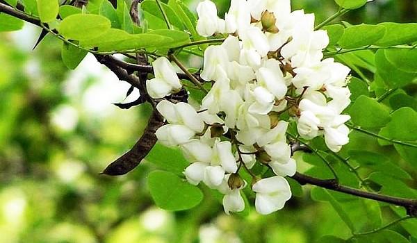 Apa de flori de salcâm este un remediu natural ideal pentru catifelarea și hidratarea tenului uscat. Vezi cum se prepară și cum trebuie să o folosești.