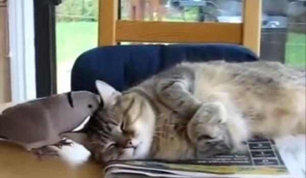O ciuguleşte, îi cântă la urechi, biata pisicuţă cât să mai reziste?